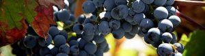 Meet the grape: Tempranillo