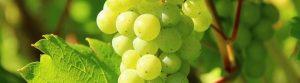 Meet the grape: Albariño
