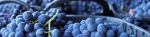 Lee más sobre el artículo Meet the grape: Garnacha